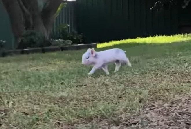 Свинка бежит