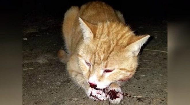 Кот в крови