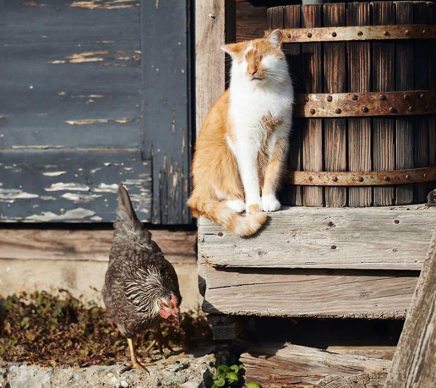 кот рядом с курицей