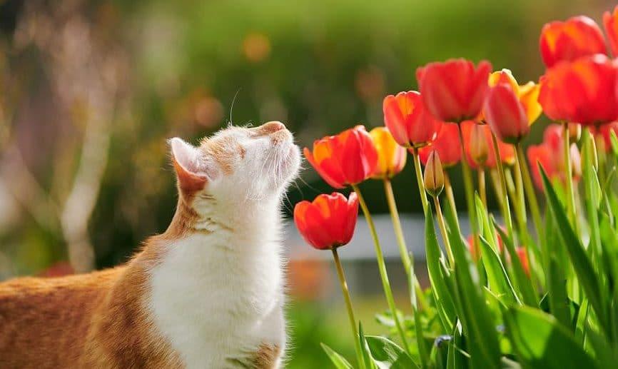 кот и тюльпаны