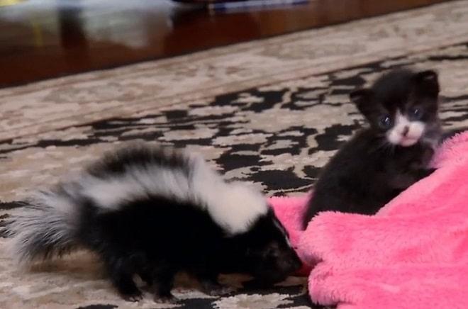 Котенок и скунс
