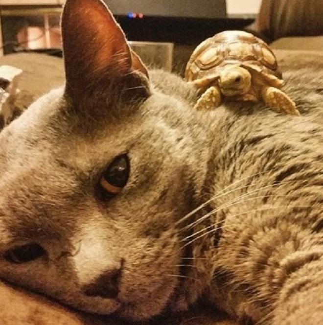 Черепашка и кошка