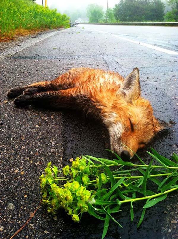 лиса лежит на дороге