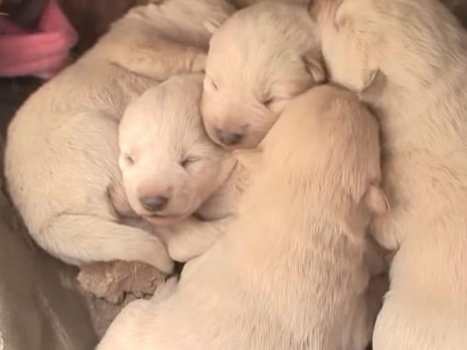 Пять щенков
