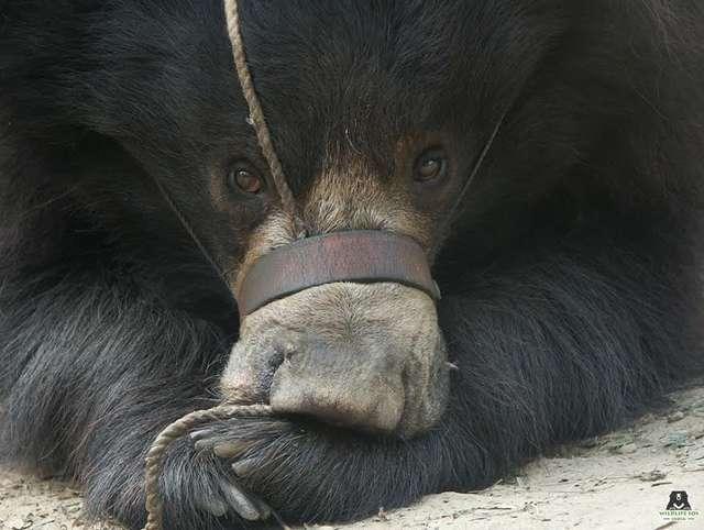 медведь с перемотанной пастью