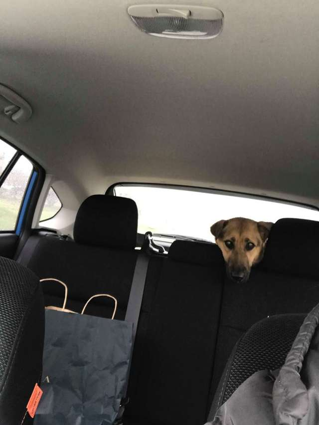 собака в машине рис 2