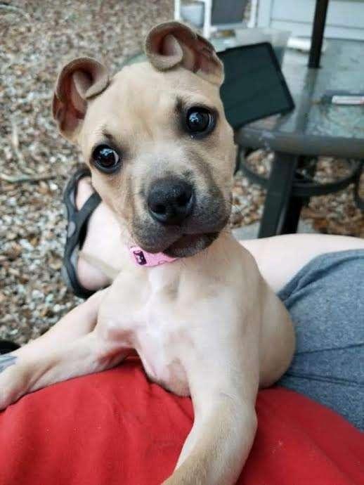 щенок со скрученными ушками