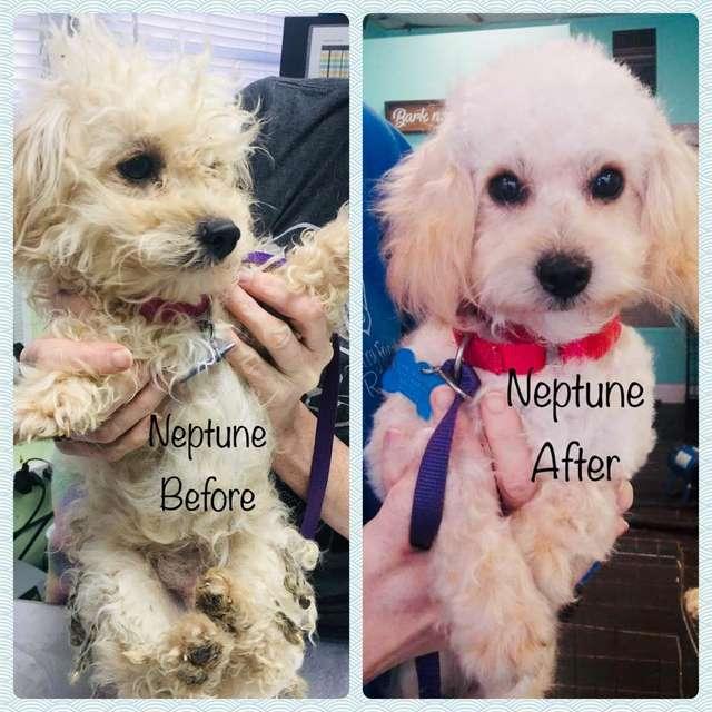 собака до и после стрижки