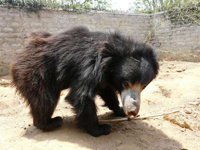 тощий медведь