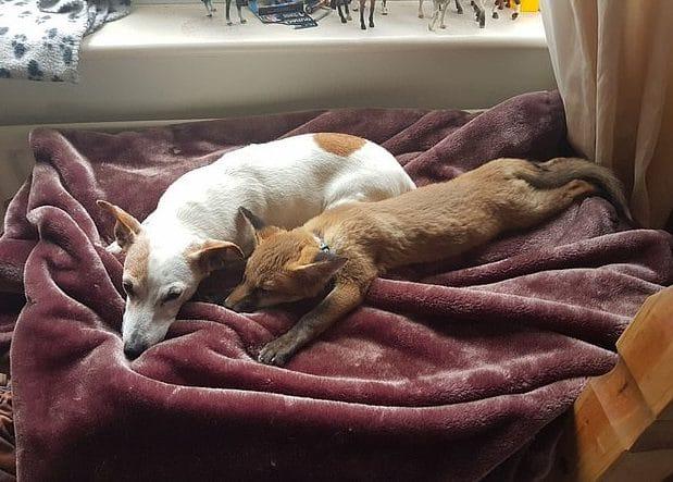 пес и лиса спят