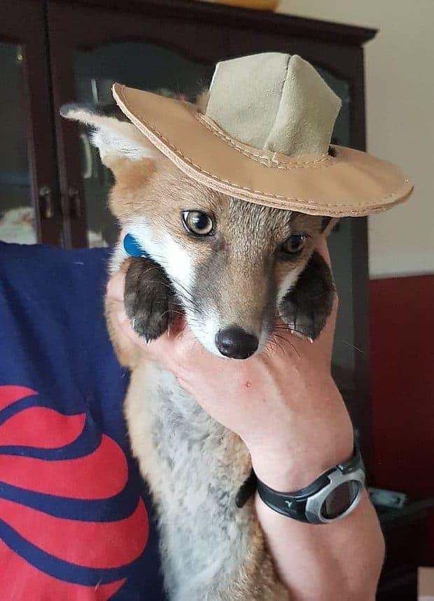 лиса в шляпе