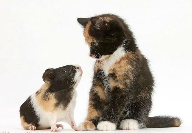 Котик и морская свинка