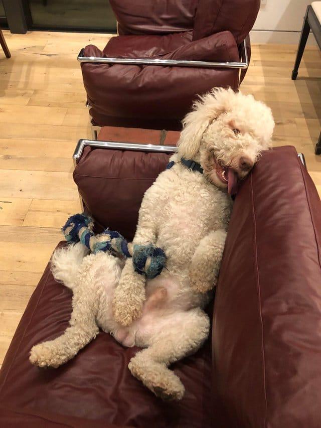 пес лежит на диване