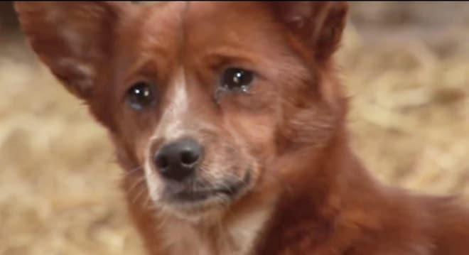 Собака в слезах