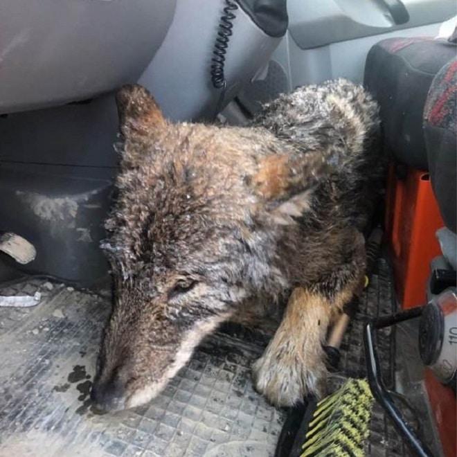 Волк в машине