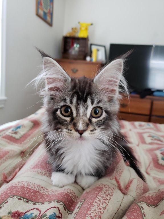 котенок мейн-куна рис 2