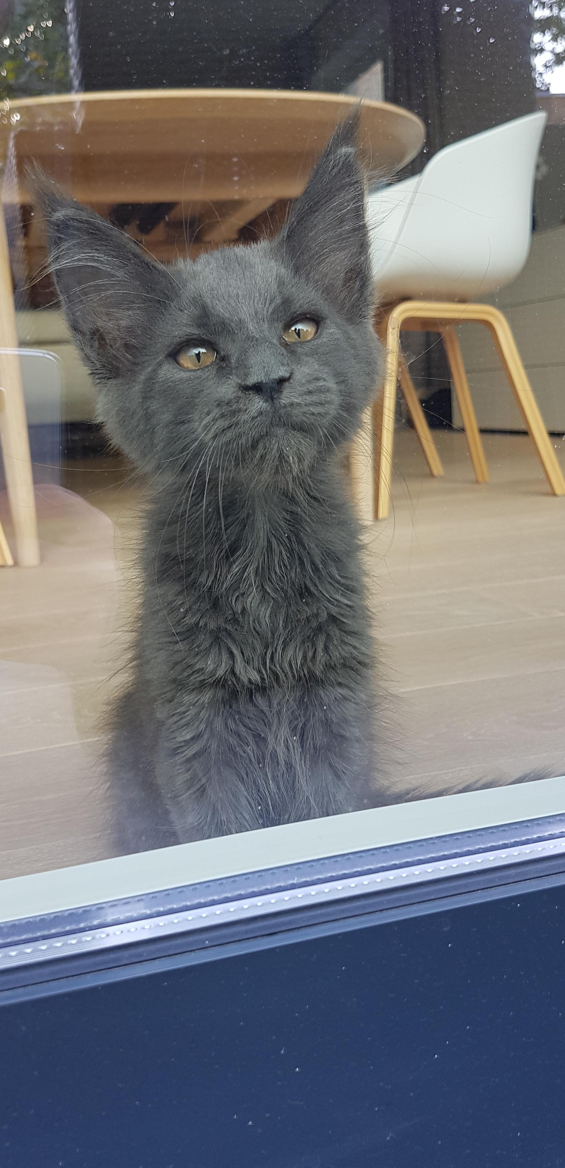 котенок мейн-куна рис 3