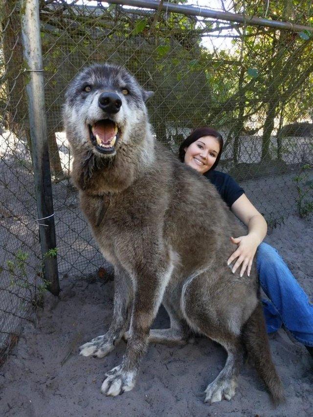 волк и девушка рис 3