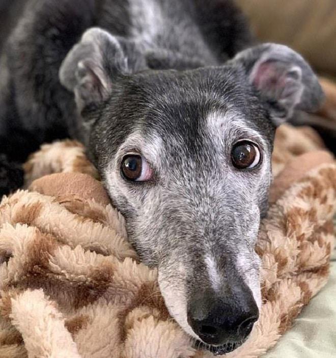 Собака на одеяле
