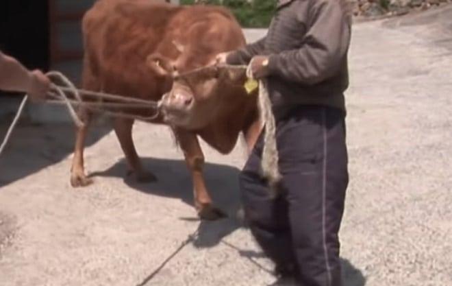 Корову уводят