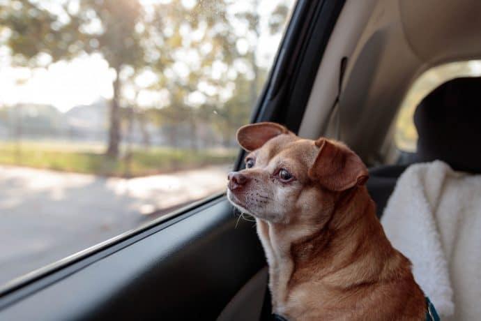 маленькая собака в машине