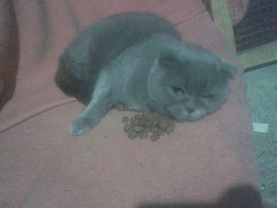 серая кошка рис 3