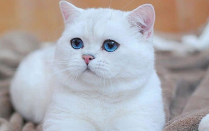 Белоснежный кот
