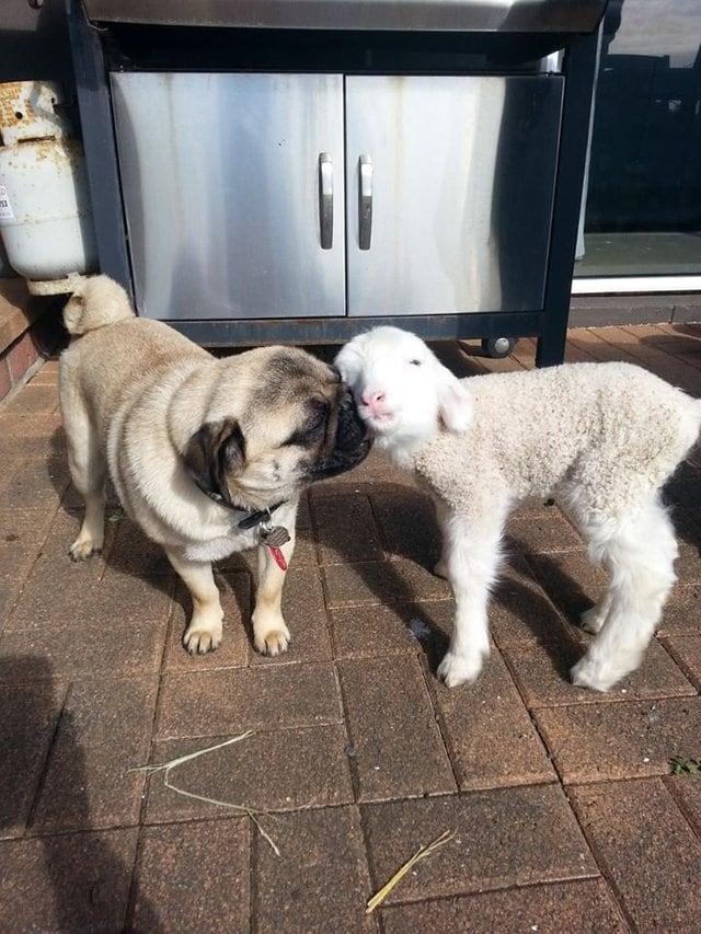 мопс дружит с овцой