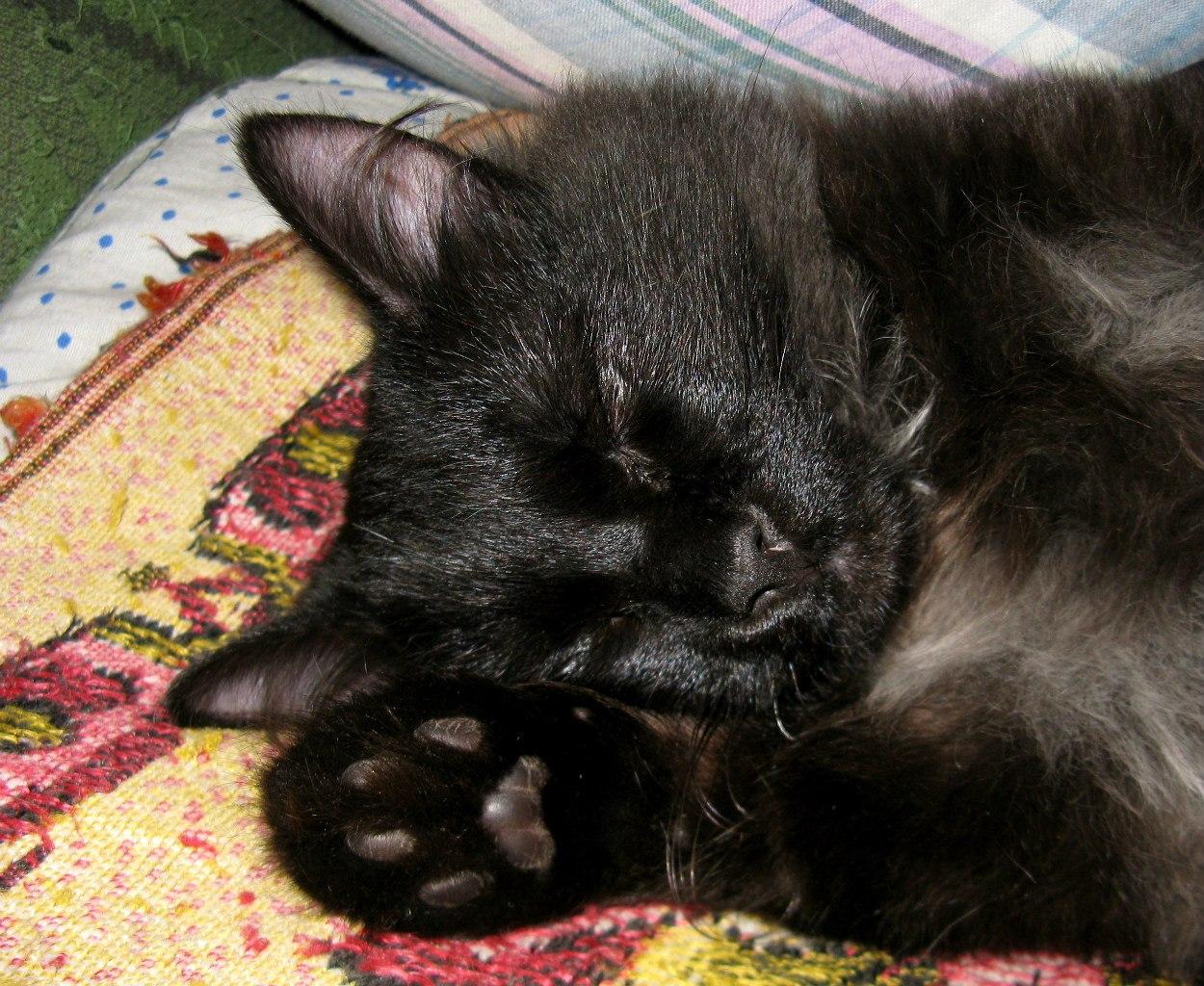 черный кот спит