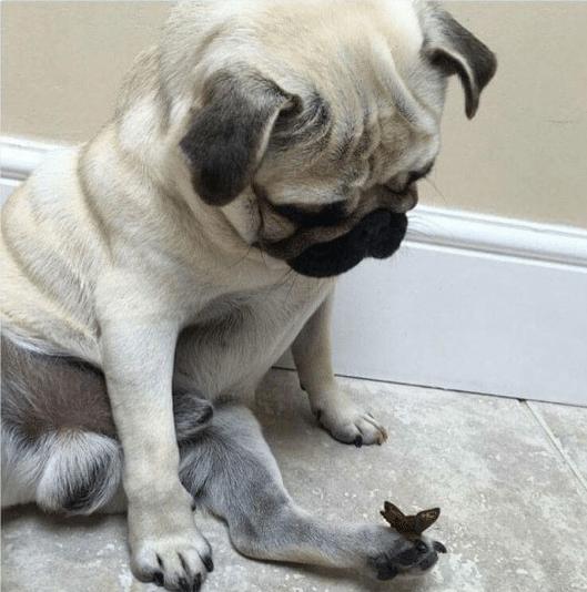 мопс и бабочка