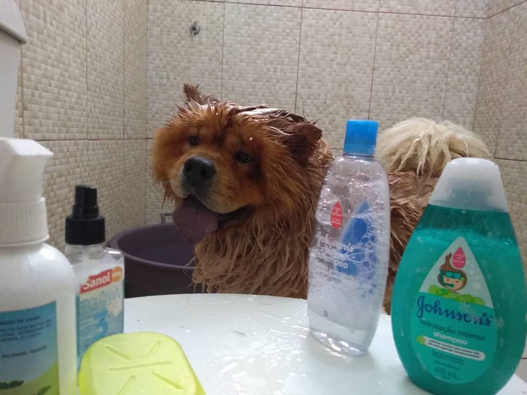 чау-чау в ванной