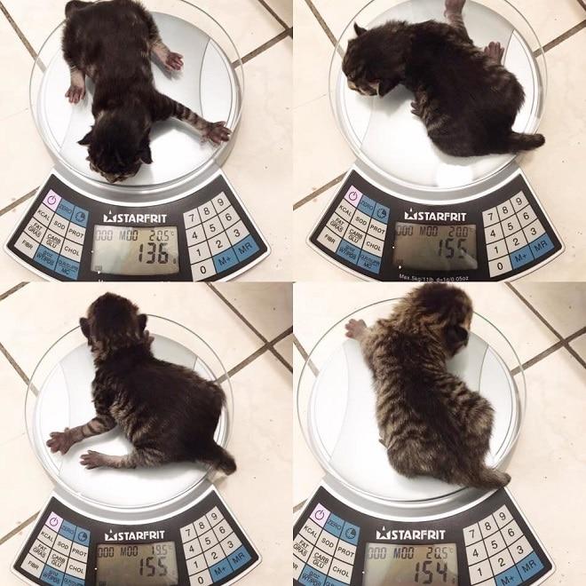 Котята на весах