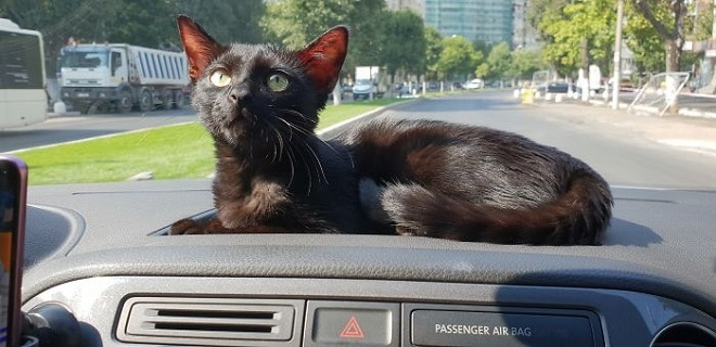 Кошка с красными ушами