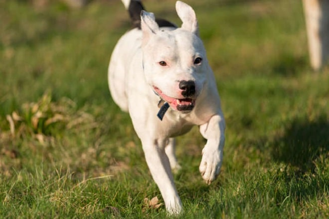 Пес бежит