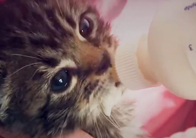 Котенка кормят