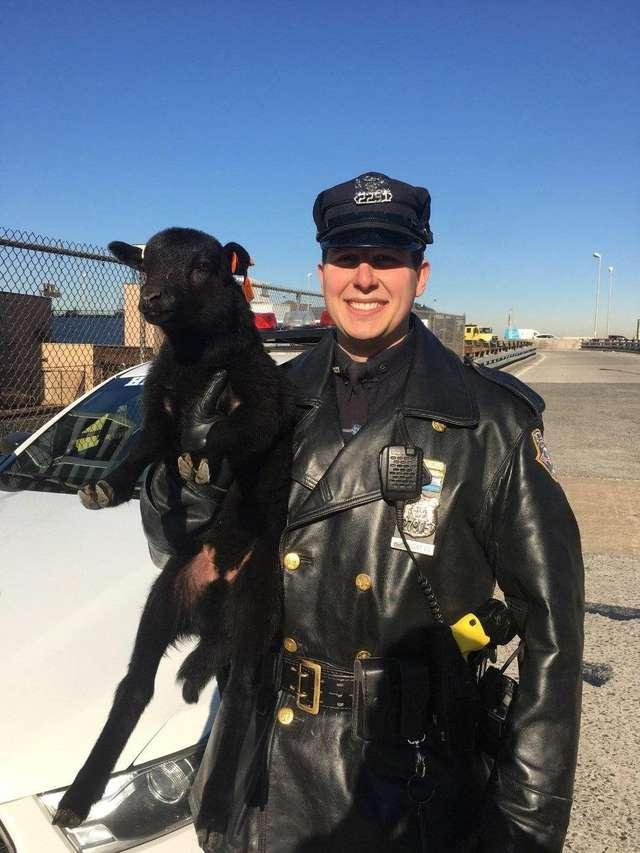 полицейский держит ягненка