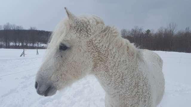 кучерявая лошадь рис 2