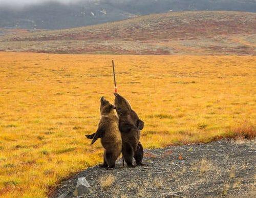 медведи гризли рис 2