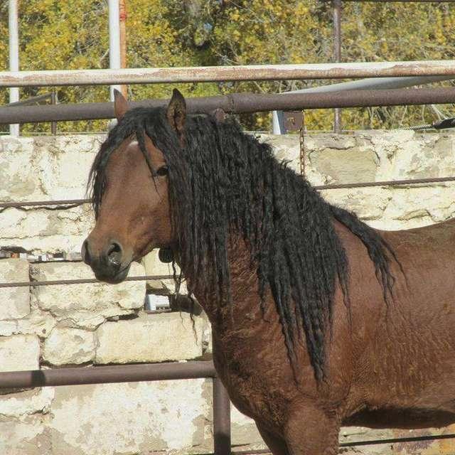кучерявая лошадь рис 3