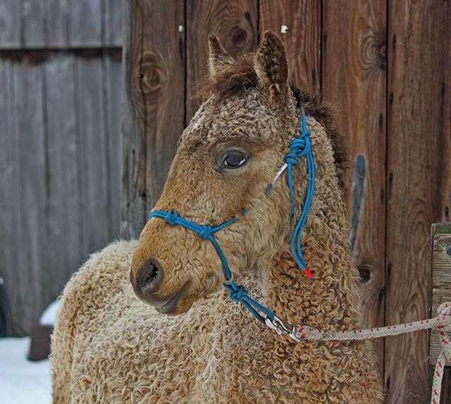 кучерявая лошадь рис 4