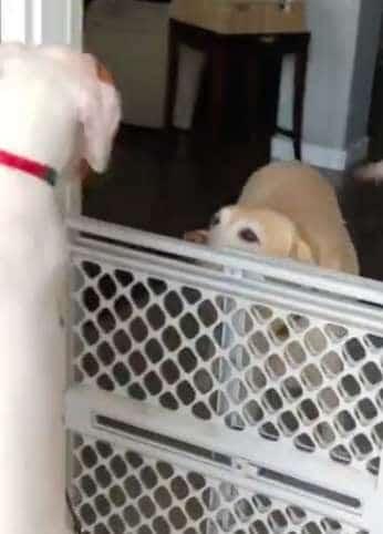 две собаки рис 2