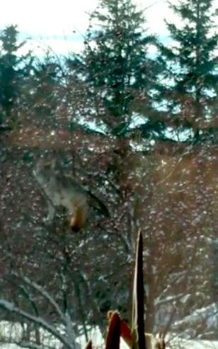 койот на дереве