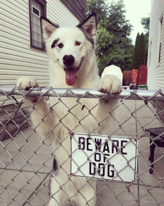 собака за забором рис 2