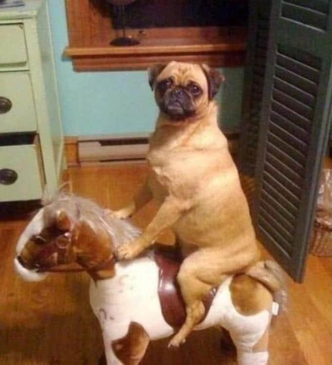 мопс на лошадке