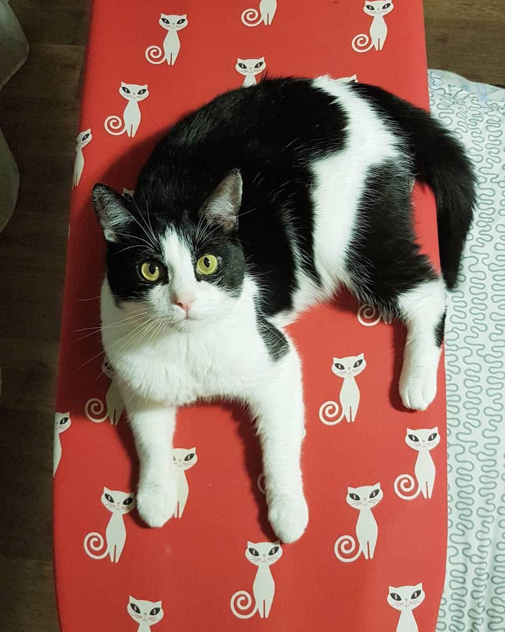 черно-белый кот