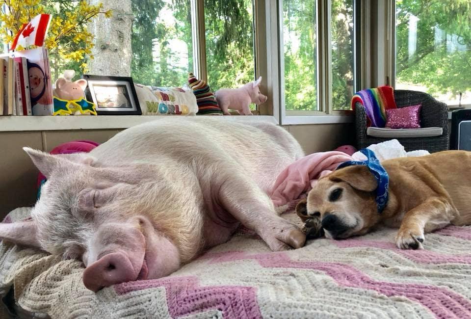 свинья с собакой