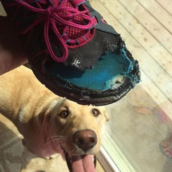 собака сгрызла обувь