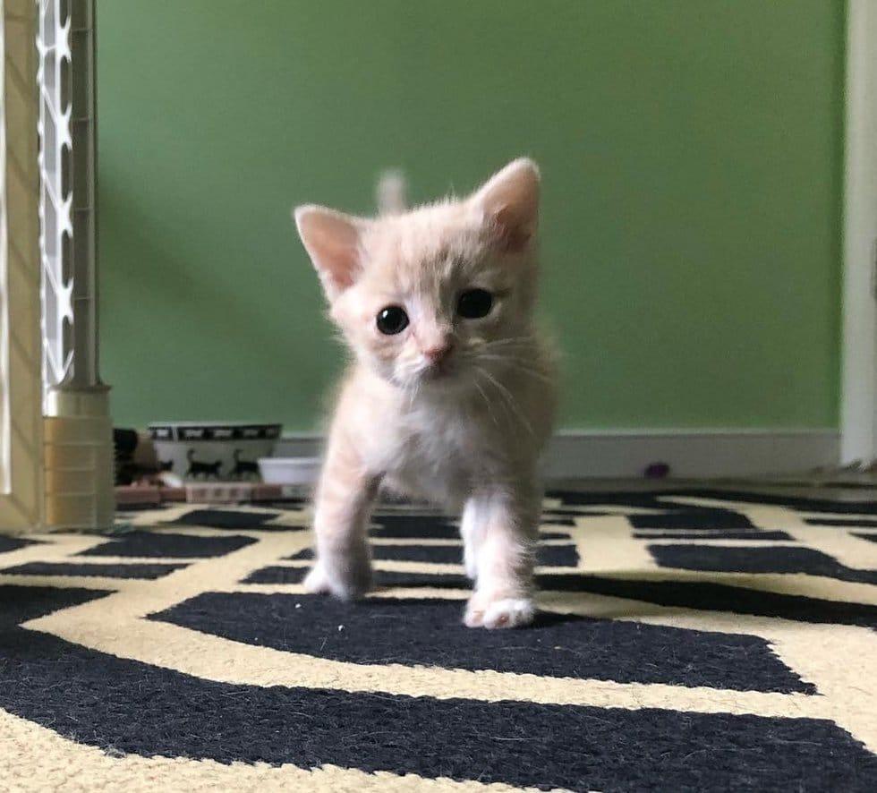 котенок с кривыми лапками