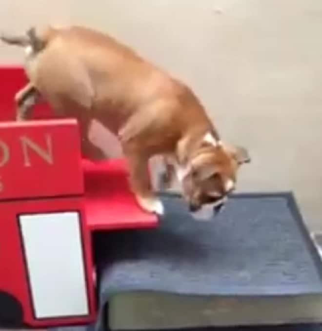 Собака спускается