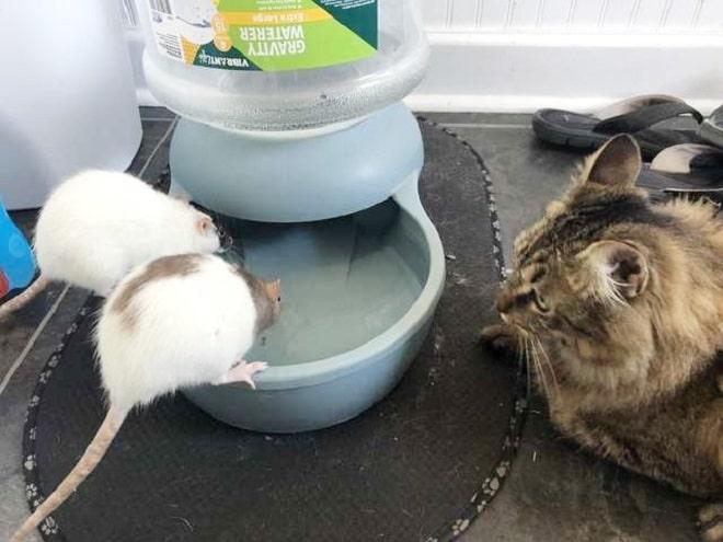 Кот и две крысы